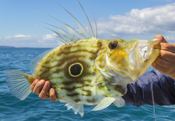 Beautiful John Dory Fish from Sullivans Bay Mahurangi Beach Auckland, New Zealand