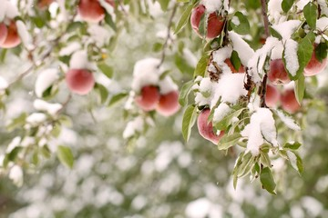 Fresh snow on Apples in October