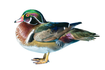 Male Wood Duck or Carolina Duck (Aix sponsa), Wild duck was introduced as a pet is a colorful standing happily isolated on white background