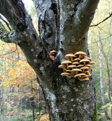 Cluster of Golden Scalycap mushrooms or Pholiota aurivella on trunk of old rowan