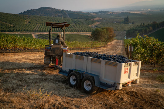 A vineyard worker hauling a harvest bin full of wine grapes  with a tractor at a vineyard in southern oregon