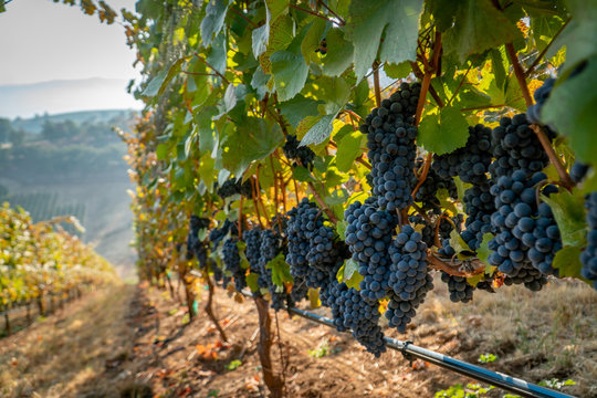 A row of ripe wine grapes ready for harvest at a vineyard in southern oregon