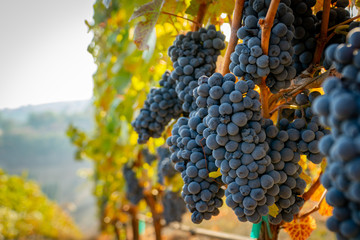 Poster Wijngaard A bunch of ripe grapes ready for harvest at a vineyard in southern oregon