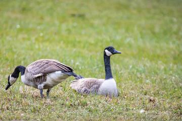 Geese Feeding in the Autumn Grass