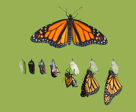 Exit from the cocoon. Monarch butterfly (Danaus plexippus) cycle. Isolated on green background