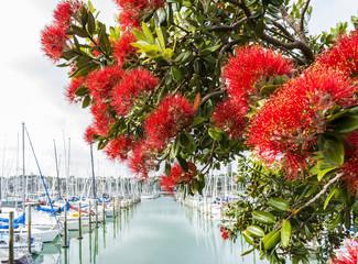 Blooming Pohutukawa Flowers Auckland New Zealand