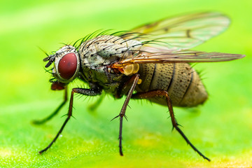 Exotic Drosophila Fruit Fly Diptera Insect on Plant Leaf