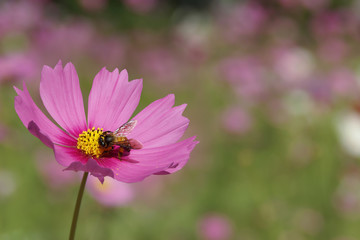 Closeup of Sweet Pink Cosmos Flower with a Bee