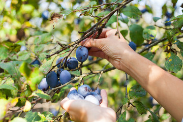 Harvesting plums in the garden
