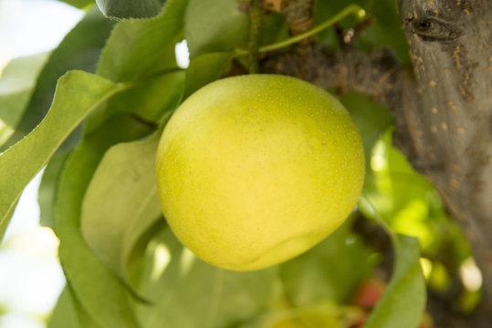 木成りの梨の実