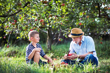 A senior grandfather with grandson sitting on grass in orchard, cutting apple.