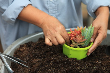 Gardener is arranging young succulent plant for potting into a new decorative container