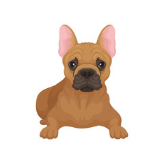 French bulldog lying isolated on white background. Small dog with smooth brown coat, big ears and cute muzzle. Flat vector design