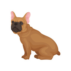 French bulldog sitting isolated on white background. Home pet. Small dog with smooth brown coat and big pink ears. Flat vector icon