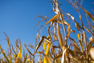 Corn Stalks on a Sunny Day in Fall