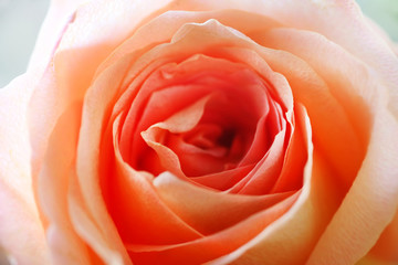 Beautiful orange rose. Close up