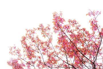 cherry blossom on sky.