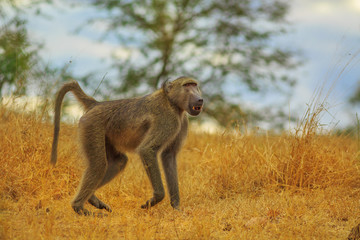 Male of Chacma Baboon species Papio ursinus, runs in the dry grass. Cape baboon it is one of the largest of all monkeys. Kruger National Park in South Africa.