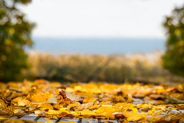 Shallow depth of field of many yellow autumn leafs. Beautiful landscape view with copy space.