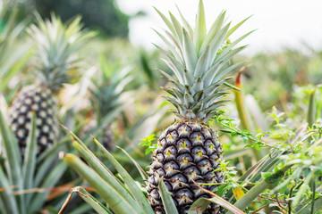 Pineapple is growing at sky.