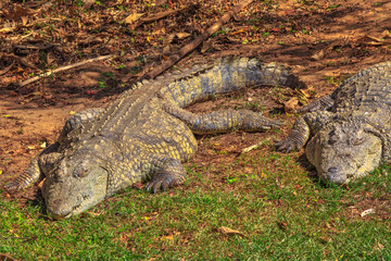 Two African Crocodiles species Crocodylus Niloticus, sleeping at iSimangaliso Wetland Park in St Lucia Estuary, South Africa, one of the top Safari Tour destinations.