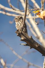 Little owl (athene noctua) fall, leaves, tree,