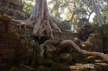 Fig tree growing on a temple ruin close to Angkor Wat in Cambodia