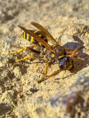 Wasp in the sand