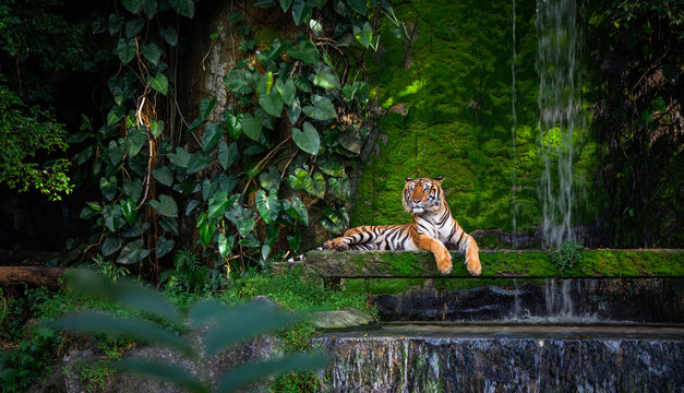 Bengal tiger resting Near the waterfall with green moss from inside the jungle zoo .