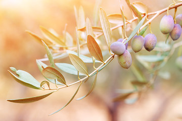 Foto op Aluminium Olijfboom Olive tree branch