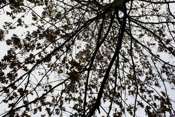 Looking up at the branches and leaves of a tree, silhouetted against a light grey sky