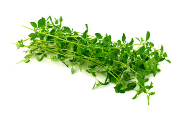 Isolated Thyme Herb Plant (Thymus).