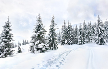 Winter landscape of mountains with path with footprints in snow following in fir forest and glade. Carpathian mountains