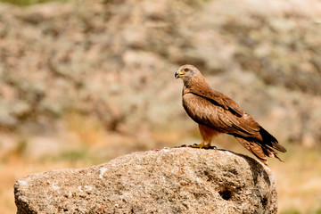 Adult brown kite  on a big stone
