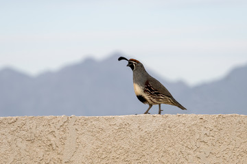 Quail (Callipepla californica) walking along a fence - Arizona Backyard