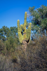 Saguaro Cactus (Carnegiea gigantea) growing in the Sonoran Arizona Desert. Bird nest holes shown in cactus.