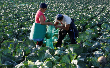 Labourers harvest cabbage near Krasnoyarsk