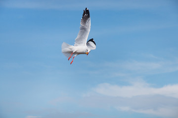 seagull flying in the sky and eating piece of bread