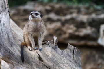 Erdmännchen sitzt auf einem Baumstamm mit Blick nach vorne