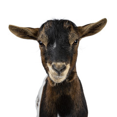 Head shot of serious / angry white, brown and black spotted pygmy goat front view, looking straight at camera isolated on white background