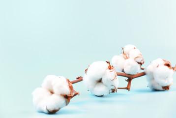 Cotton flower branch on empty blue background.