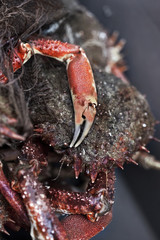 A fresh spider crab on a fishermonger stall