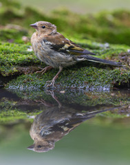 Common chaffinch at woodland pool
