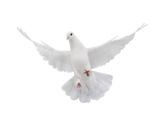 free flying white dove isolated