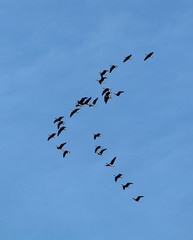 Flock of flying wild Greater white-fronted geese (Anser albifrons) against blue sky. Autumn bird migration