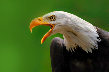 Fototapete - Poster american eagle on the green background
