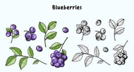 Blueberries. Vector illustration collection. Hand drawn berries. Sketch illustration. Vintage style design. Organic food, healthy food.