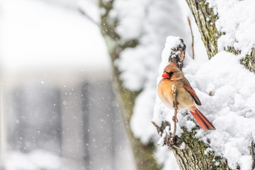 One female red northern cardinal side profile, Cardinalis, bird sitting perched on tree branch during heavy winter snow colorful beak