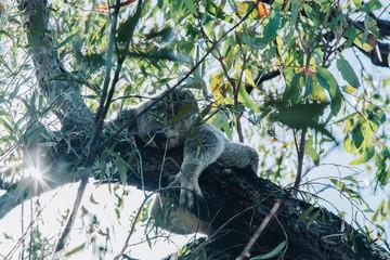 magnetic island, wild, koala