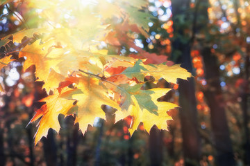 Branch of yellow oak leaves in autumn forest at sunny day.